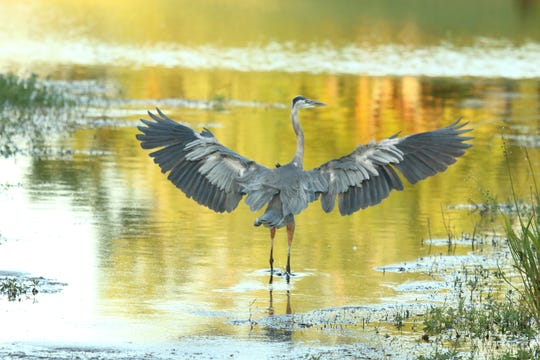 Mary Petrone found a great blue heron taking flight from a pond in St. Lucie County.