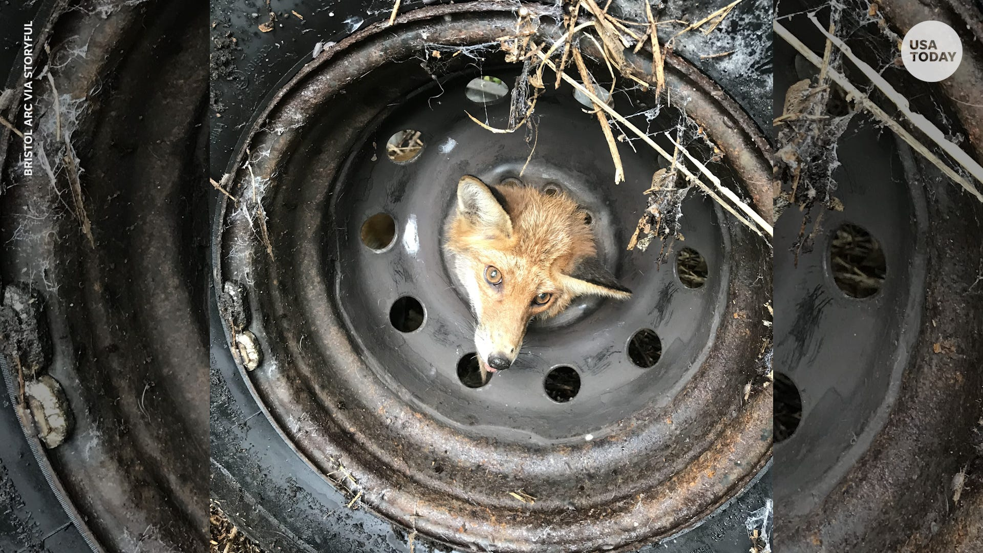 Fox rescued after getting head stuck in discarded tire