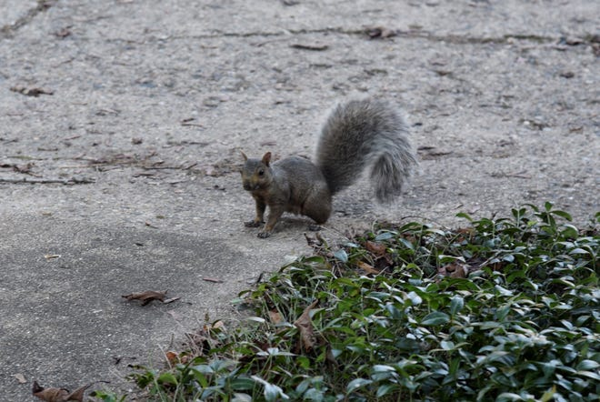 This eastern gray squirrel got within 10 feet of me before I retreated back inside my house in Battle Creek.