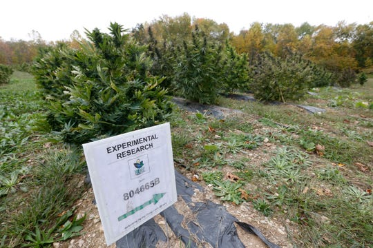 Hemp plants treated with an experimental process growing at Hemp Productions Incorporated Farm in LaGrangeville on October 11, 2019. These plants grew faster and have a higher CBD oil content than plants that were not treated with their proprietary process.