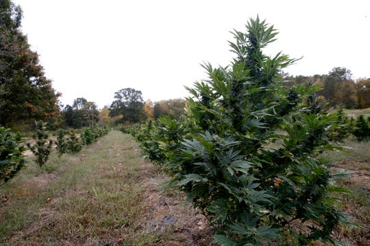 Hemp plants prior to harvesting at Hemp Productions Incorporated Farm in LaGrangeville on October 11, 2019.