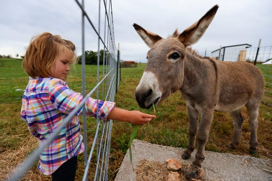 Liv Larsen feeds a donkey named Alfie at her family's pumpkin patch called Onward Acres near Miller, Mo., on Wednesday, Oct. 9, 2019.