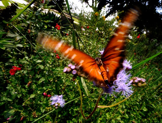 Butterflies like this male Queen (Danaus gilippus) feed on the lavender flowers of Gregg's Mist at the Abilene Zoo's Butterfly Garden in September 2008.