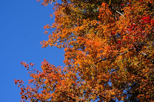 A tree in full fall colors in South Burlington on Sunday, Oct. 13, 2019.