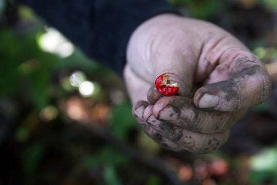 Marv Kraus shows a ginseng berry from a harvested plant on private property in Clayton County on Monday, Sept. 23, 2019. Ginseng can only be harvested in September and October on private land with permission of the landowner by licensed harvesters. Berries must be replanted within 100 feet of the parent plant.