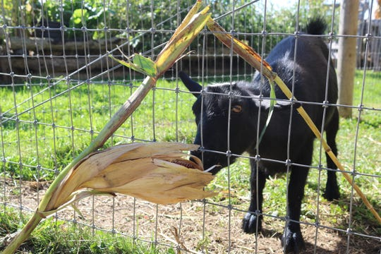"A young goat enjoys some corn at the ""Farm Days"" event at Creek Bend Farm on Saturday."