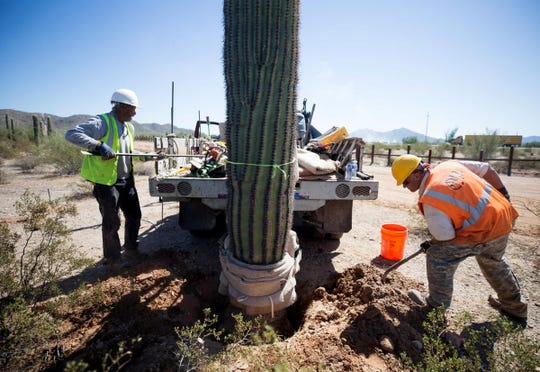 Subcontractors for Arizona Cactus and Trees wrapped saguaros with a carpet-like cloth, tied them to a mechanical pole on a truck and replanted them a few dozen feet farther away from the border at Organ Pipe Cactus National Monument.