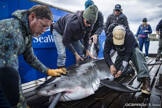 Shaw, a 10-foot, 3-inch white shark while aboard OCEARCH research vessel in Canadian waters on Oct. 1, 2019