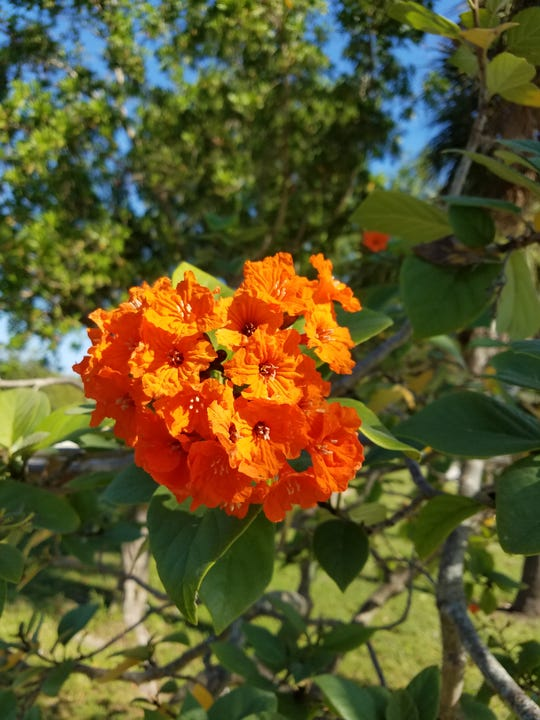 The geiger tree produces gorgeous bright orange tubular flowers that attract hummingbirds.