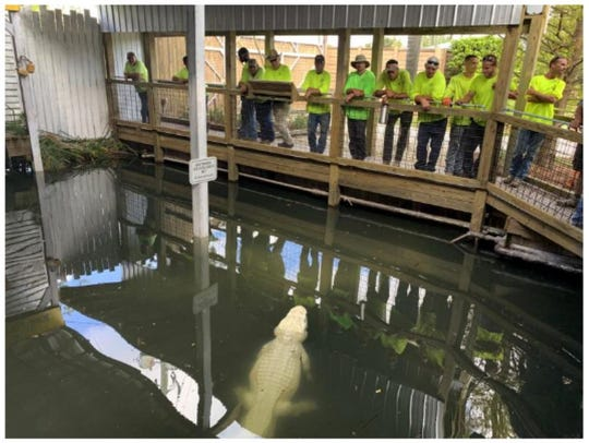 In this Oct. 4, 2019 photo, Gatorland employees watch an albino alligator named Pearl, on the opening day of the attraction's White Gator Swamp, in Orlando.