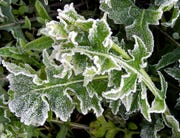 Frost on unprotected plants.