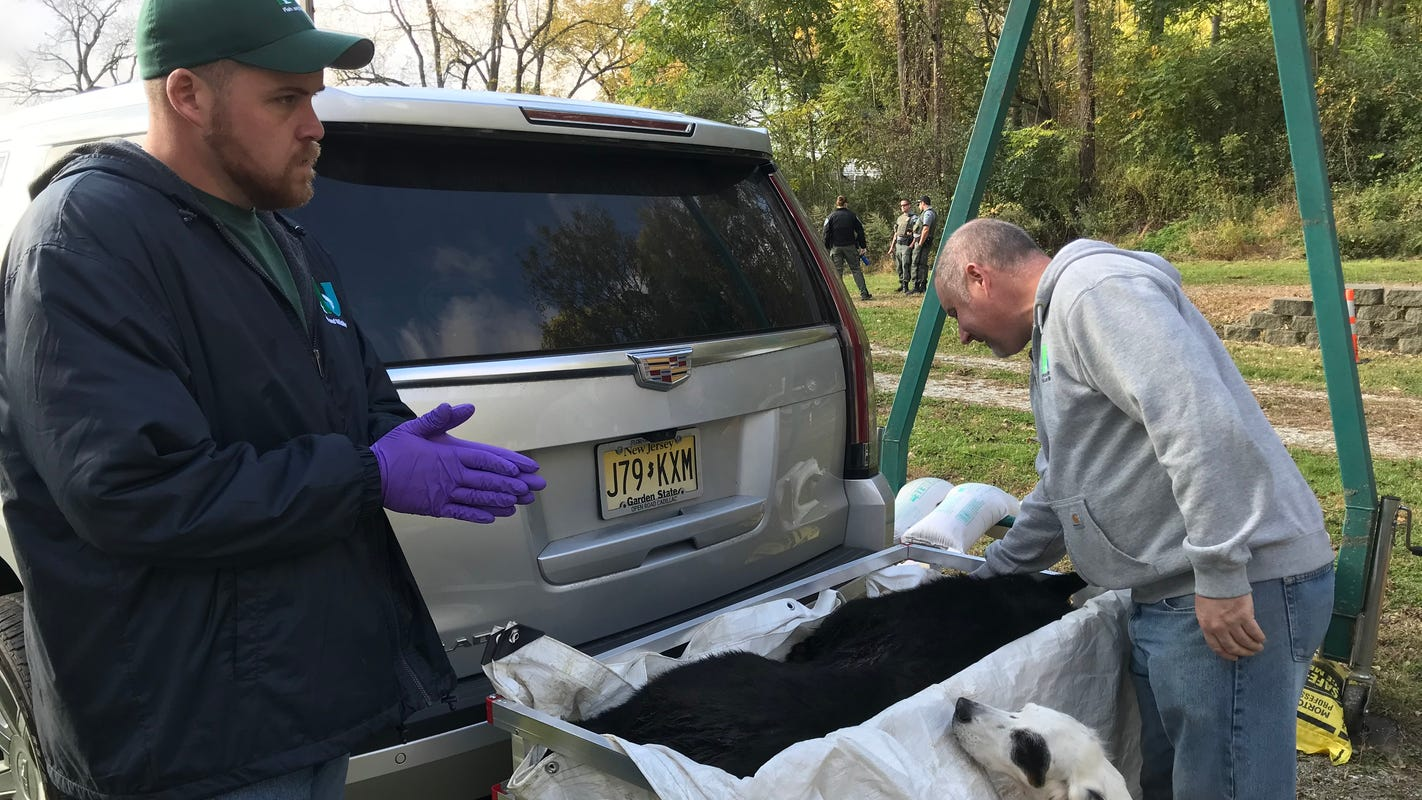 Another NJ bear hunt begins with estimated bruin population dropping
