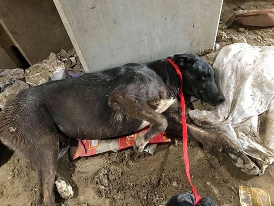 A dog found buried alive in the garbage at a city of Phoenix trash transfer station has been rescued and is on the mend, according to a local pet rescue foundation.