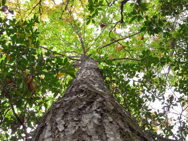 American chestnut tree.