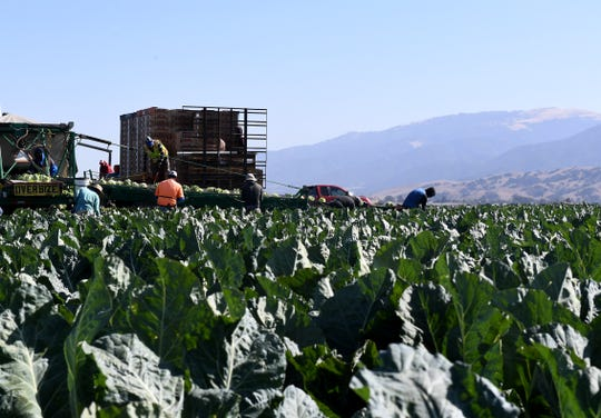 Domestic farmworkers pick and pack cauliflower in Salinas. Oct. 14, 2019.