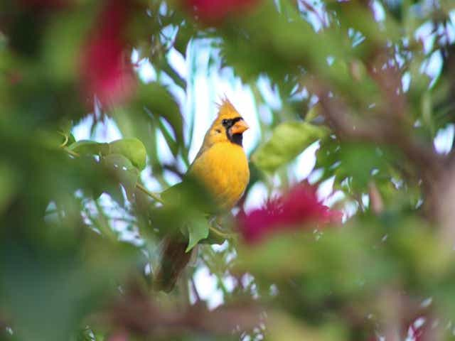 'An extremely rare phenomenon': A yellow cardinal, nicknamed 'Sunny,' photographed in Florida