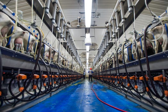 The milking parlor at Chilton Dairy is set up for 128 goats per rotation on twice a day milking. The goats average just over 5 pounds of milk per day.