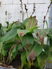 Canna plants before being cut down.