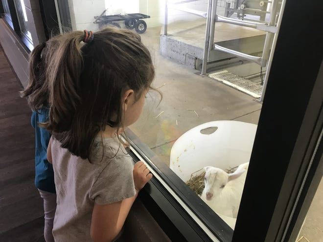 Young visitors watch as newborn goats are bottle fed in the viewing area just off the Cheese Shoppe and Cafe at LaClare Family Creamery.