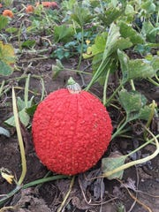 An awesome red pumpkin we found at Red Wagon Farm in Manalapan.