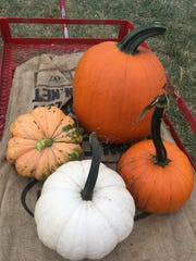 A foursome of pumpkins at Red Wagon Farm in Manalapan.