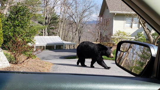 A mama black bear walks across a driveway on Town Mountain in April. Neighborhoods on Town Mountain are being encouraged to become BearWise certified.