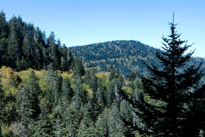Deciduous trees mixed among coniferous trees have begun to turn yellow as seen from a view along Clingmans Dome Road in The Great Smoky Mountains National Park on Oct. 14, 2019. Clingmans Dome is the highest point in the park at 6,643 feet in elevation.