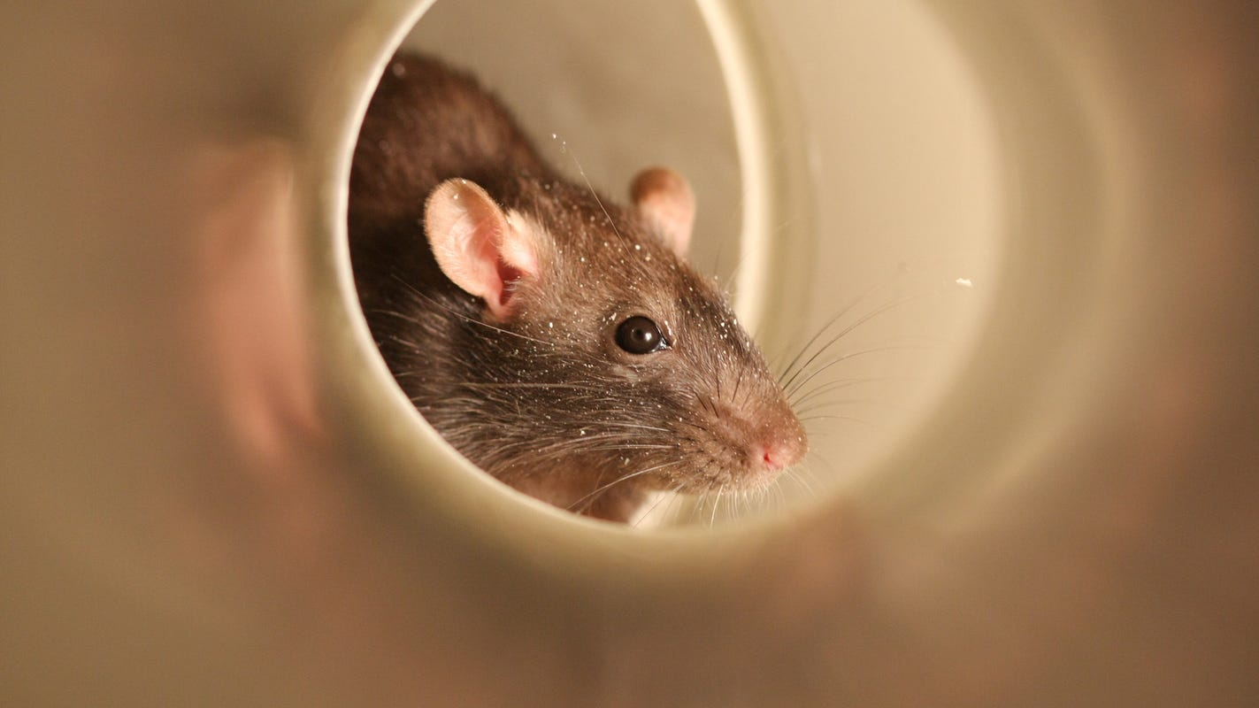 Detroit 6th worst city for rats, pest company says