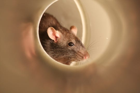The most common rodent pests in the United States are the house mouse, the Norway rat and the roof rat.