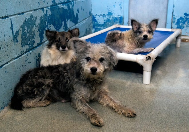 Three of the 43 dogs Animal Control rescued after Evansville policediscovered them in a home off South Grand Avenue Monday while conducting a death investigation were being kenneled at Animal Control and Care Tuesday afternoon, Oct. 15, 2019.