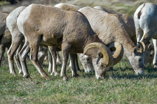 A herd of bighorn sheep graze near the Missouri River in early October.