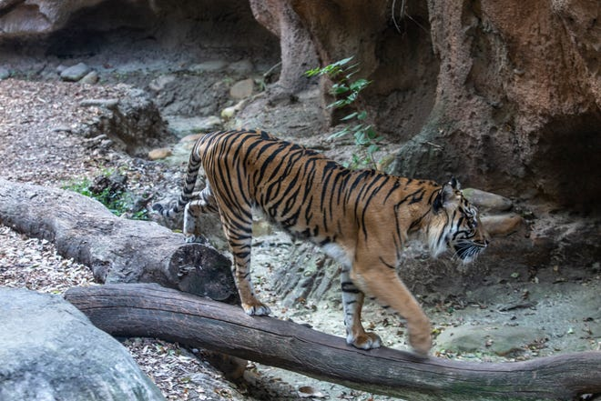 """Lila the tiger walks through her den at the Louisville Zoo. The birth of Lila and her two siblings were the inspiration for Katy Yocom's book, """"Three Ways to Disappear."""""""