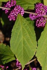 Callicarpa Japonica Heavy Berry plant