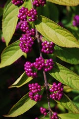 Callicarpa Dichotoma plant