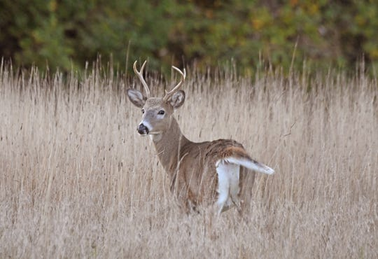 A young buck feeds in the tall grass at Ohio State University-Mansfield. Deer archery season continues through Feb. 2. Youth deer gun will be Nov. 23-24, with the regular gun season running Dec. 2-8 and Dec. 21-22. Ohio's deer muzzleloader season will be Jan. 4-7. The statewide bag limit is six deer, only one of which may be antlered.