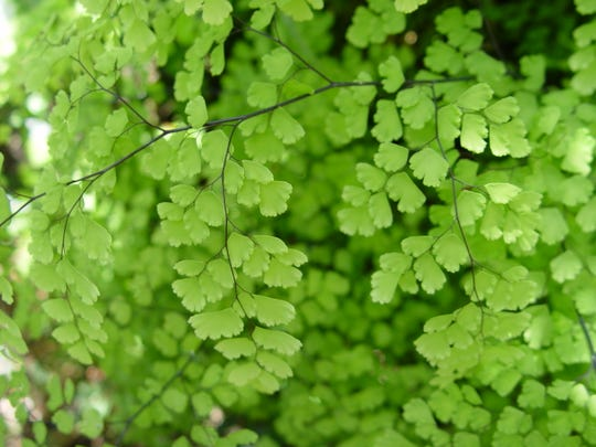 The California native maidenhair ferns are small with shiny black stems used for details in Indian-made baskets.