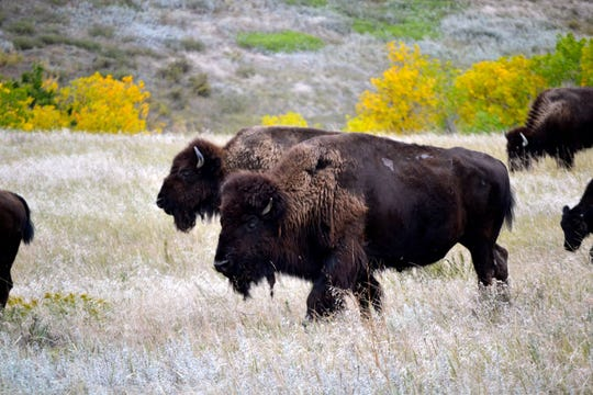 Four bison were recently released into a new area in Badlands National Park. Bison had not been in the expanded range for more than 150 years.