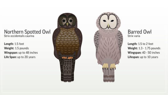 Graphic showing the differences between a barred and northern spotted owl.;