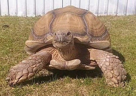 Texas family is searching desperately for 90-pound pet tortoise named Mr. Mabel