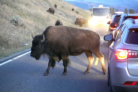 A bison blocks traffic traveling through the Lamar Valley in Yellowstone National Park.