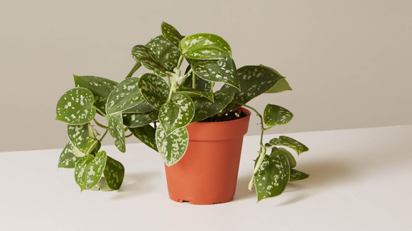 Best housekeeping gifts 2019: Silver Philodendron