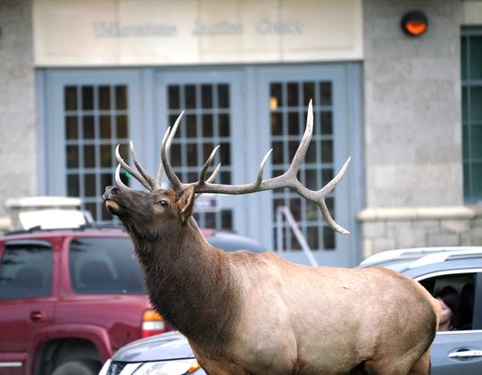 A bull elk sniffs the air in front of the federal courthouse at Mammoth Hot Springs inside Yellowstone National Park.