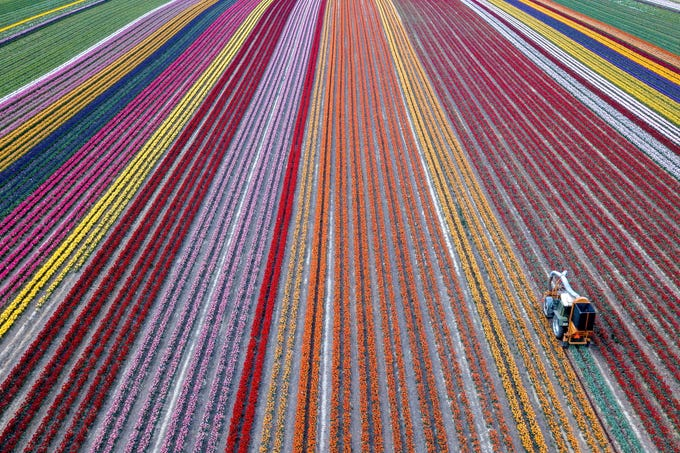 epa07885451 An aerial picture taken by a drone shows a tractor harvesting blooming tulips on a field in Grevenbroich, Germany, 24 April 2019. Tulip fields can be admired all over the Rhine district of Neuss. The tulips grow on about 100 hectares. The district offers one of the largest contiguous cultivation areas in whole of Germany with six farmers in the district breeding tulips.  EPA-EFE/SASCHA STEINBACH