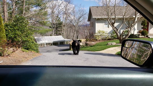 A yearling black bear wanders through a driveway on Town Mountain earlier this spring. Now is the time of year bears are actively foraging for food to bulk up for the winter.