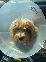 Tugger sports a plastic cone after surgery. The veterinarian operating on the dog recovered metal BB pellets, revealing the animal had been shot.
