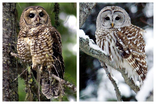 This combination of 2003 and 2006 photos shows a northern spotted owl, left, in the Deschutes National Forest near Camp Sherman, Ore., and a barred owl in East Burke, Vt. Barred owls are native to eastern North America but began moving West at the turn of the 20th century.