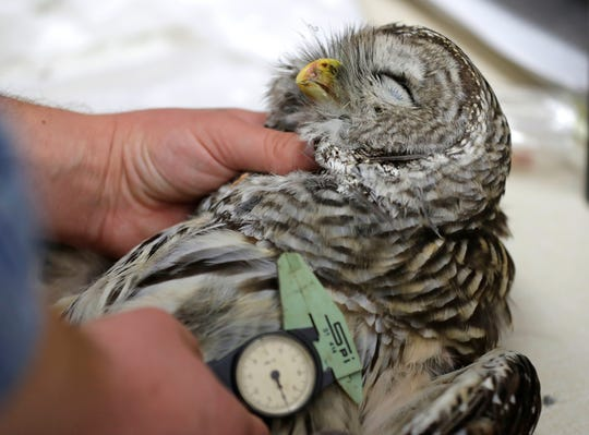 In this photo taken in the early morning hours of Oct. 24, 2018, wildlife technician Jordan Hazan records data in a lab in Corvallis, Ore., from a male barred owl he shot earlier in the night.