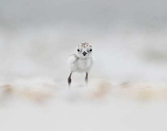 A snowy plover chick surveys its surroundings.