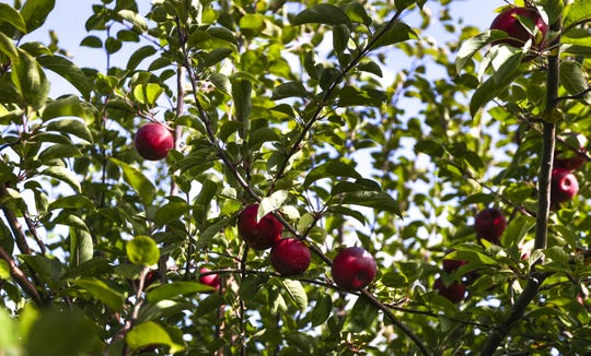 McIntosh Apples hang from trees on Wednesday, Oct. 16, 2019, at the Oneida Nation Apple Orchard in Green Bay, Wis. Ebony Cox/USA TODAY NETWORK-Wisconsin