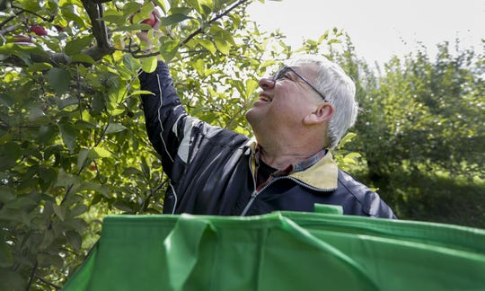 Agricultural Director Jeff Scofield picks McIntosh Apples on Wednesday, Oct. 16, 2019, at the Oneida Nation Apple Orchard in Green Bay, Wis. The Orchard opened in 1994 and Scofield has been working there since 1995. Ebony Cox/USA TODAY NETWORK-Wisconsin
